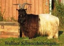 Walliser Schwarzhalsziegen...